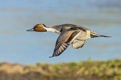 Drake Pintail im Flug Lizenzfreie Stockfotografie