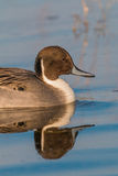 Drake Pintail Portrait Stock Images
