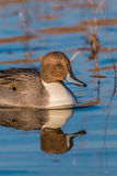 Drake Pintail Portrait Reflection Royalty Free Stock Photography