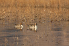 Drake Pintails Royaltyfri Fotografi