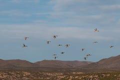 Drake Pintails Flying Stock Photos
