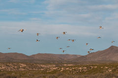 Drake Pintails Flying with Sandhill Crane Stock Photos