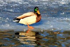 Drake que está em um lago congelado, Foto de Stock Royalty Free