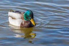 Drake que o pato selvagem nada em um lago foto de stock royalty free