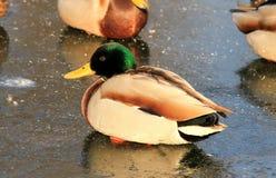 Drake que sittiing no gelo no lago congelado Foto de Stock Royalty Free