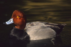 Drake Redhead Duck. A beautiful drake redhead duck swimming on a lake Stock Image