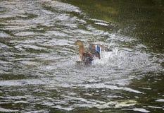 Drake in  river, in splashes Royalty Free Stock Images