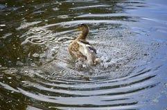 Drake in  river, in splashes Royalty Free Stock Image