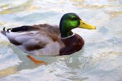 Drake-Schwimmen im klaren Wasser Lizenzfreie Stockbilder