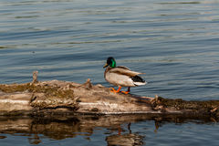 Drake sit on a log. Close up Stock Photography