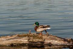 Drake sit on a log Stock Photo