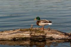 Drake sit on a log. Close up Royalty Free Stock Images