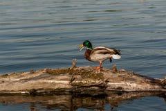 Drake sit on a log. Close up Royalty Free Stock Photos