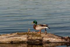 Drake sit on a log Stock Images