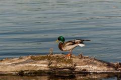 Drake sit on a log. Close up Stock Image