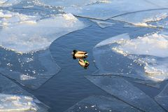 Drake som svävar mellan isisflaken på floden i vinter royaltyfria foton