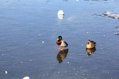 The drake is standing, and the duck is sitting on the ice of the spring river stock images
