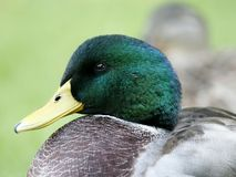 Drake-Stockenten-Ente-Wasservögel Stockfotos