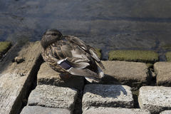 Drake on stone. Mallard drakes sits on cobblestones on the banks Royalty Free Stock Photography