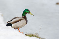 Drake sulla riva congelata del lago Immagine Stock