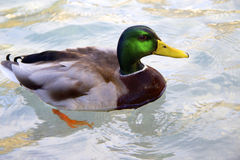 Drake swimming in clear water Royalty Free Stock Images