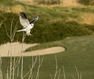 drake tailed white Arkivfoto