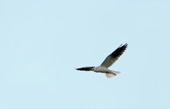 drake tailed white Arkivfoton