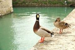 Drake und Ente auf Festungswänden in Sirmione, Italien lizenzfreies stockbild