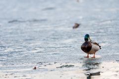 Drake walks through the melting ice of the pond in the park in the spring at sunset in April.  stock image