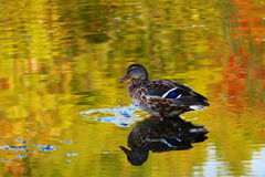 Drake wild duck on the water of the lake, where the autumn foliage reflected Royalty Free Stock Photos