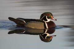 Drake Wood Duck Stockbild