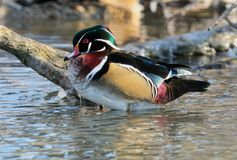 Drake Wood Duck Royalty Free Stock Images