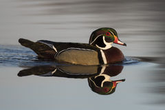 Drake Wood Duck. A Drake Wood Duck in the spring Stock Image