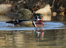 Drake Wood Duck Royalty Free Stock Photo