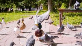 Drake wordt door duiven omringd en zeemeeuwen die een brood van brood eten dat hij de mensen wierp Prachtige zeldzame lengte Koel stock footage