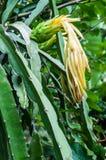 drakeblommafrukt s Royaltyfri Fotografi