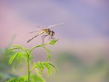 drakefluga Arkivfoton