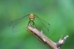 drakefluga Arkivbilder
