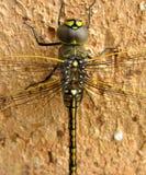 drakefluga Arkivbild