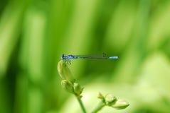 drakefluga Royaltyfri Bild