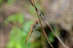 Drakefluga i ett closeupfotografi Arkivbilder