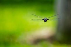 Drakefluga i flykten Arkivfoto