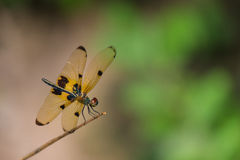 Drakefluga med gula Wing Hang på filialen Royaltyfri Foto