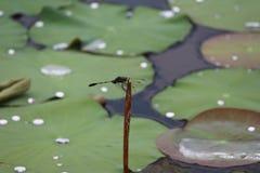 Drakefluga- och liljablock med att glittra små droppar Royaltyfria Bilder