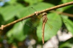 Drakefluga på den gröna växten arkivfoton