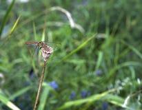 Drakefluga Arkivfoto