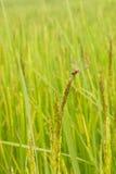 Drakefluga på ris Arkivbild