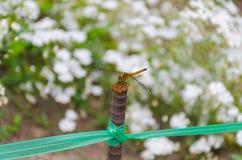 Drakefluga på stången Arkivbilder