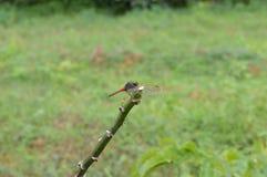 Drakefluga som är klar att redigera Royaltyfri Bild