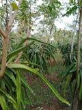 Drakefrukt i skog royaltyfri bild